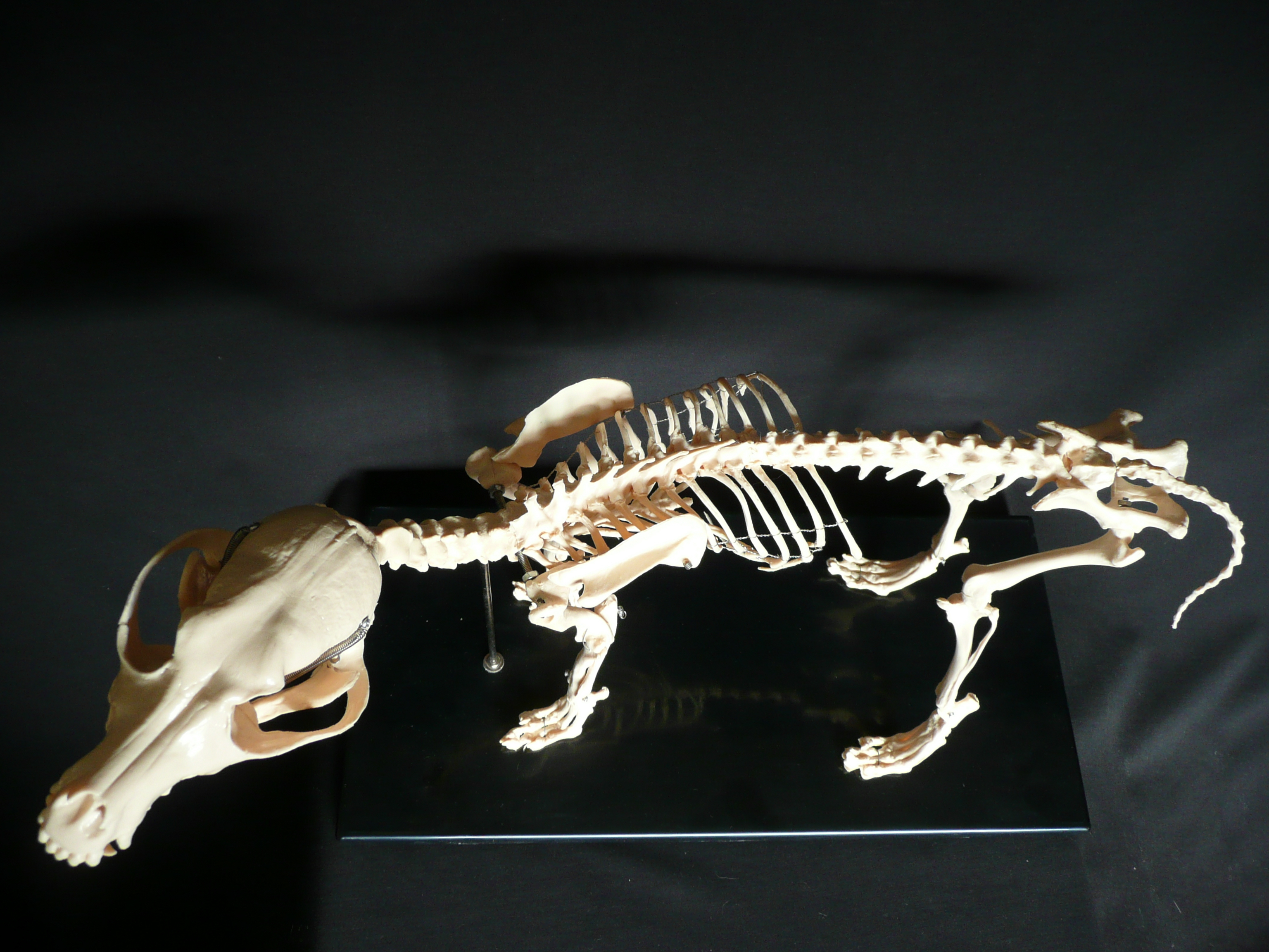 Dog anatomy model