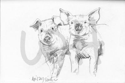 Pig Sketch - A4 Sketch