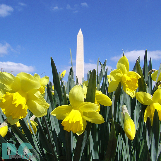 Gifts - Print - Washington Monument in Early Spring