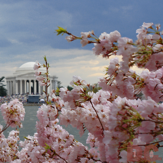 Gifts - Print - Jefferson Memorial Cherry Blossoms (2006)
