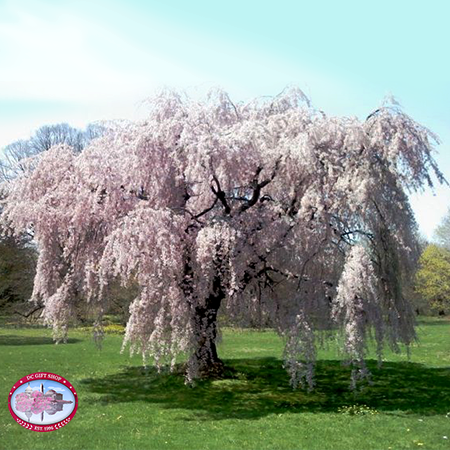 Gifts - Cherry Blossoms - Live Japanese Weeping Tree