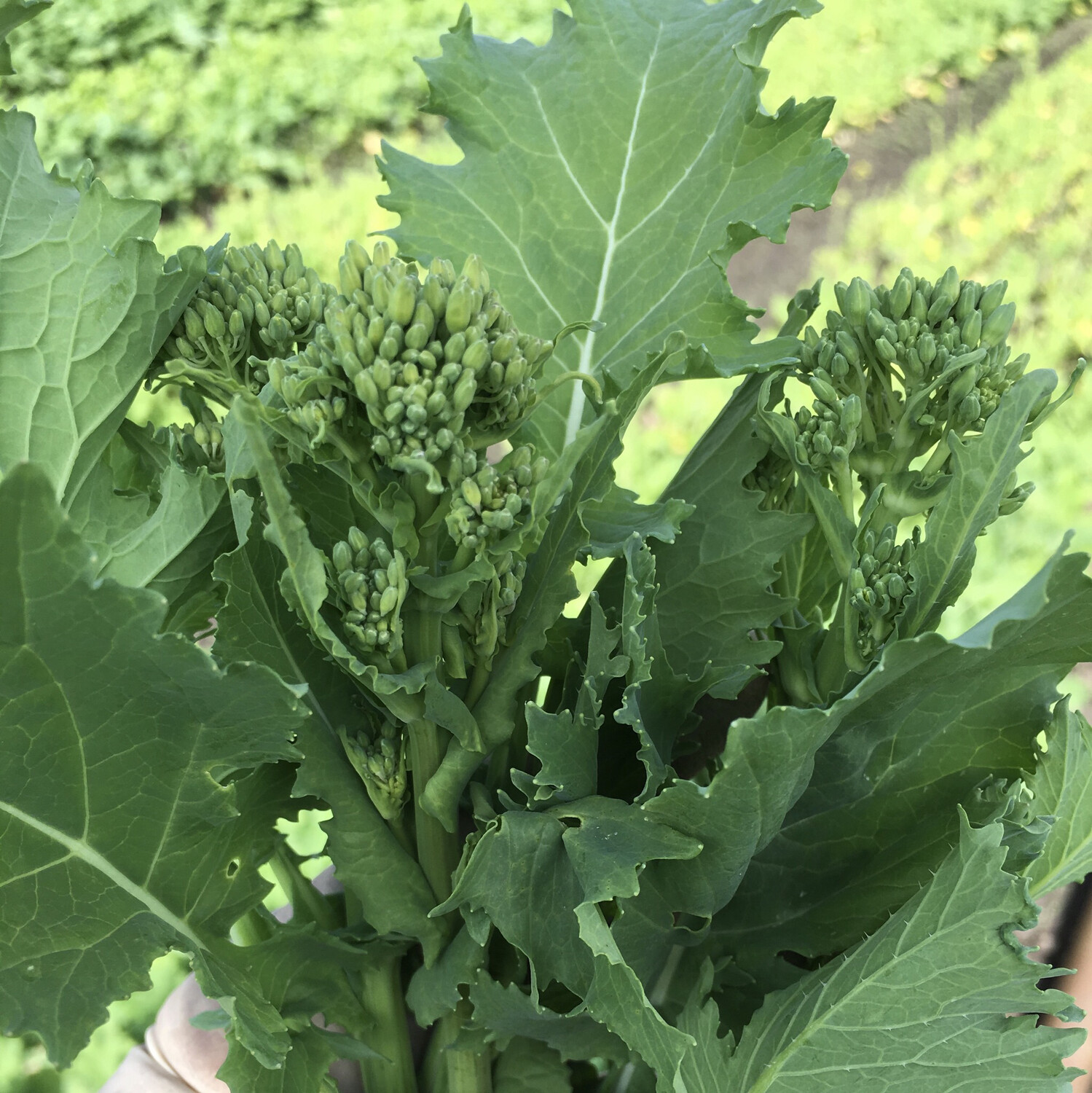 Broccoli Raab - 5lbs - $25