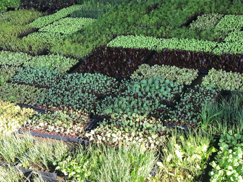 Broccoli di Ciccio - 5lbs - $20