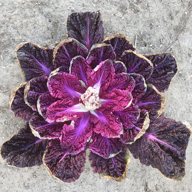 Red Dragon Napa Cabbage - 1lb - $1