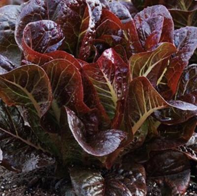 Red Romaine - 3lb - $15