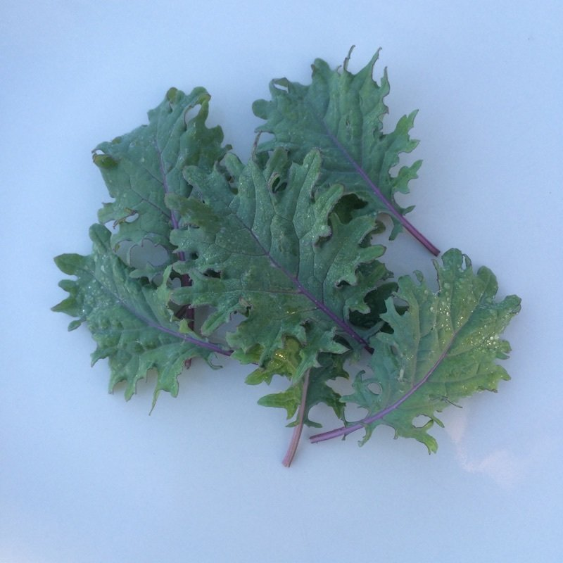 Baby Red Russian Kale
