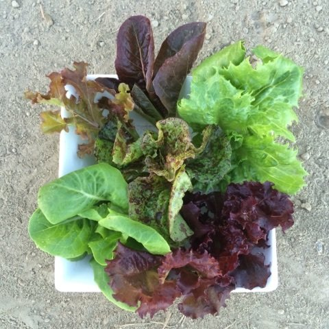 Baby Mixed Lettuce