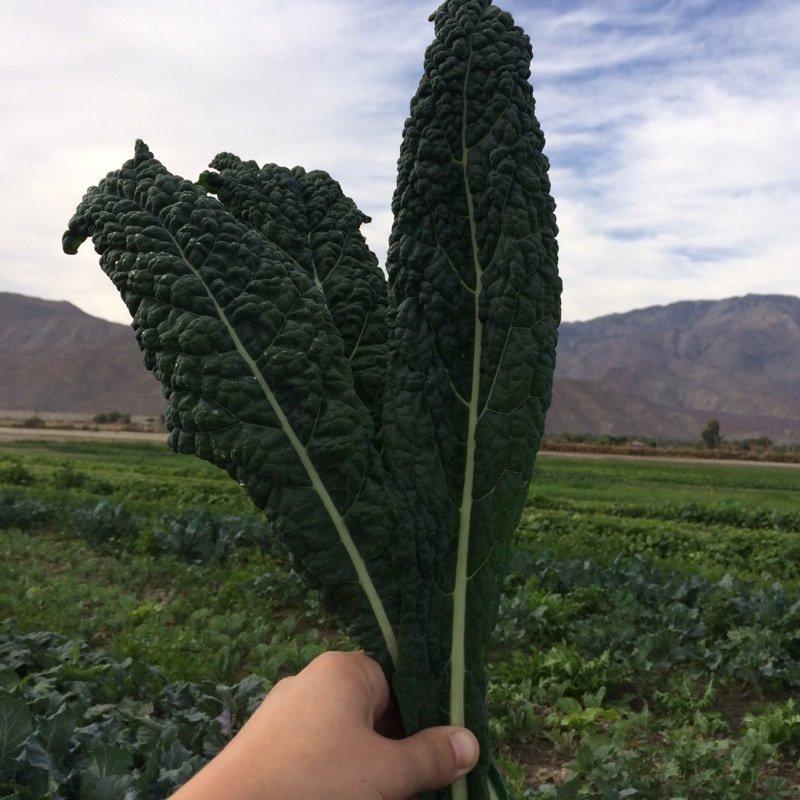 Bunched Lacinato Kale - 12ct