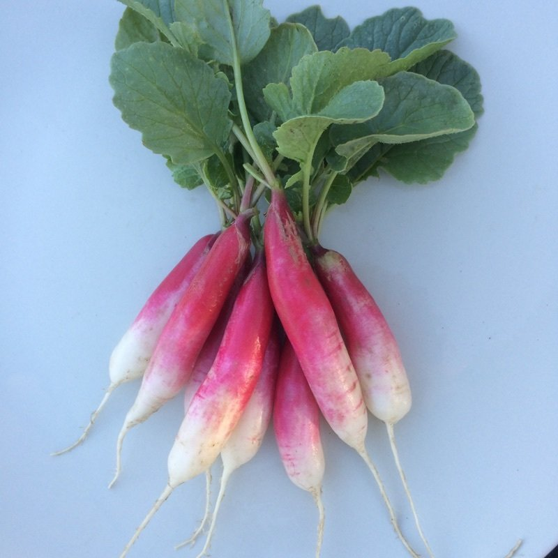 French Breakfast Radishes - 24ct - $24