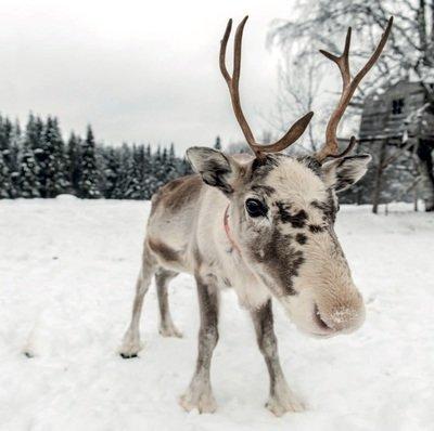 Reindeer in The Snow ( Pack of 10)
