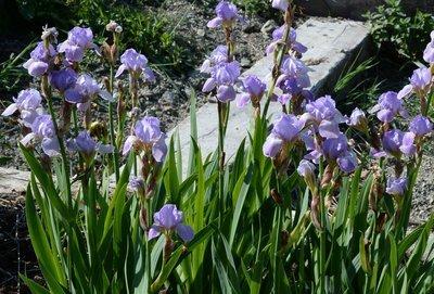Dancing Lilacs