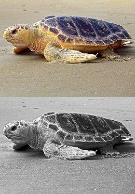 Sea Turtle  - Coquina Beach, NC