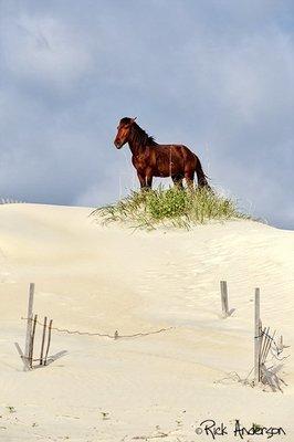 Wild Stallion - Carova Beach, NC