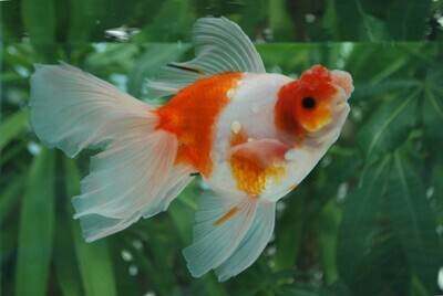 Buy Goldfish Online at Online Goldfish Shop - Zhao's Fancies