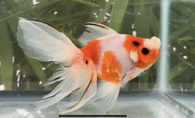 Buy Goldfish Online at Online Goldfish Shop - Zhao's Fancies
