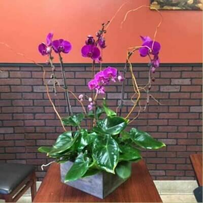 Quadruple Phalaenopsis Orchid