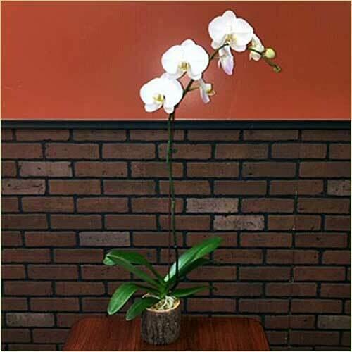 Single Phalaenopsis Orchid