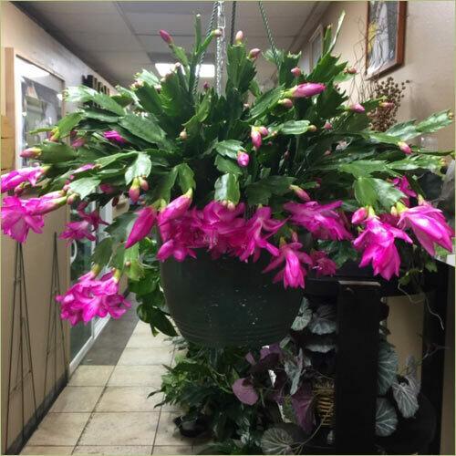 Christmas Cactus (Pink)