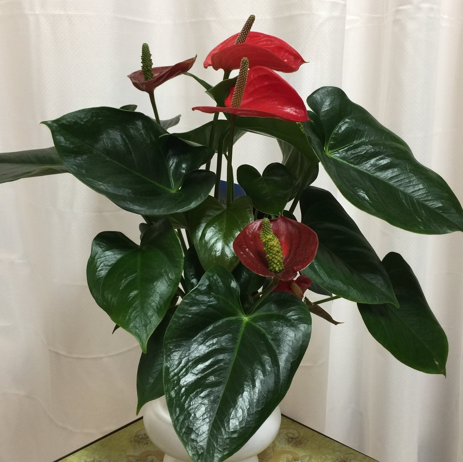 "6""Red Anthurium"