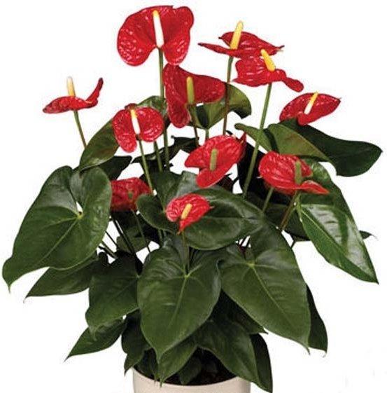 """8""""Red Anthurium"""