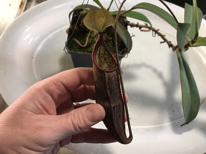 Nepenthes ramispina x macfarlanei Specimen sized!