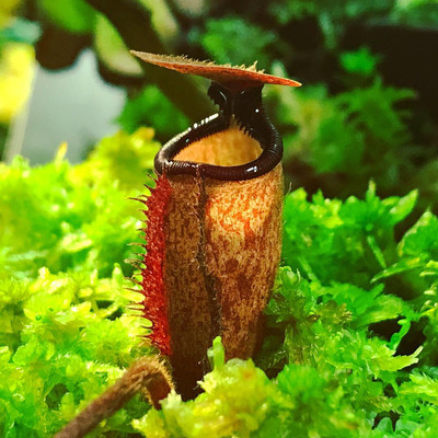 Nepenthes argentii Guiting-Guiting, Sibuyan Island