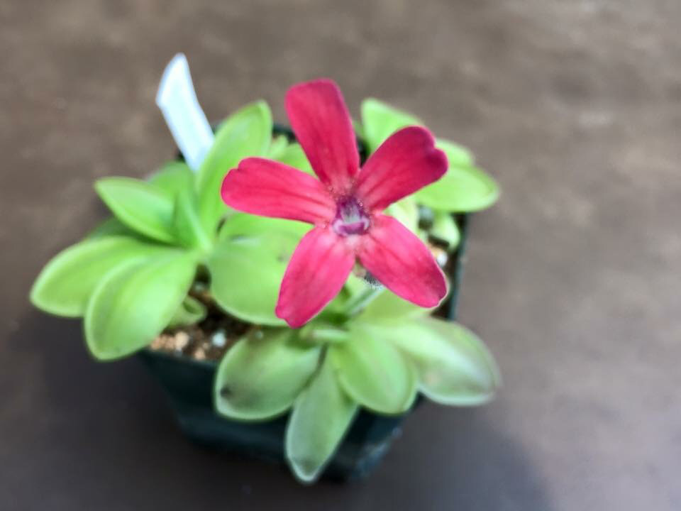 Pinguicula laueana Butterwort