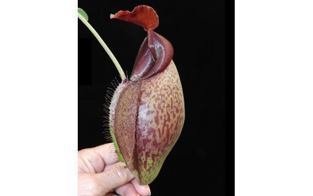 Nepenthes spathulata x aristolochiodes BE-3896