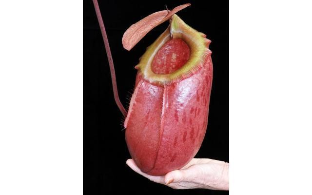 Nepenthes sibuyanensis x merrilliana BE-3542 Awesome!