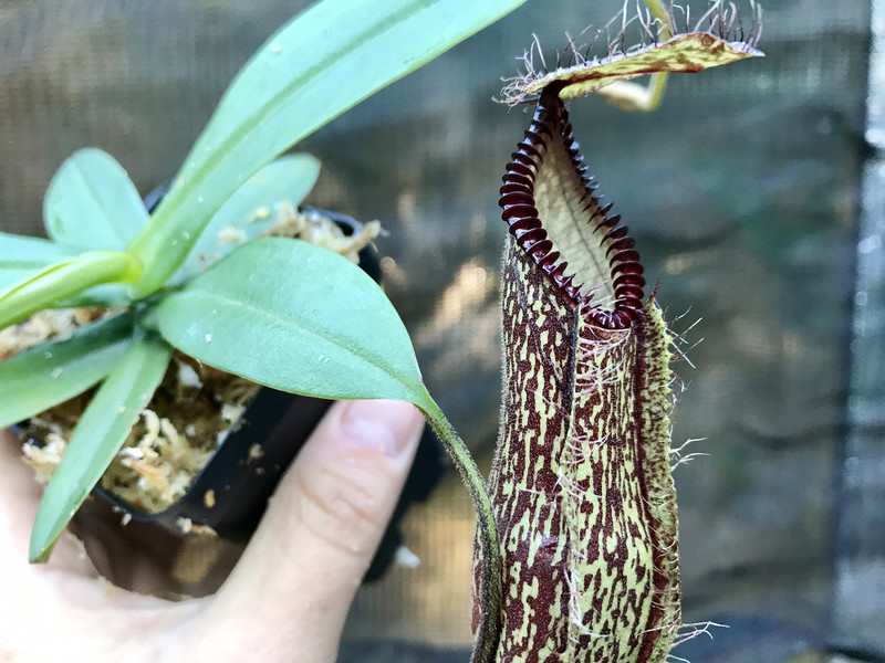 Nepenthes hamata Gng. Lumut BE-3380 Big Specimen Plants!