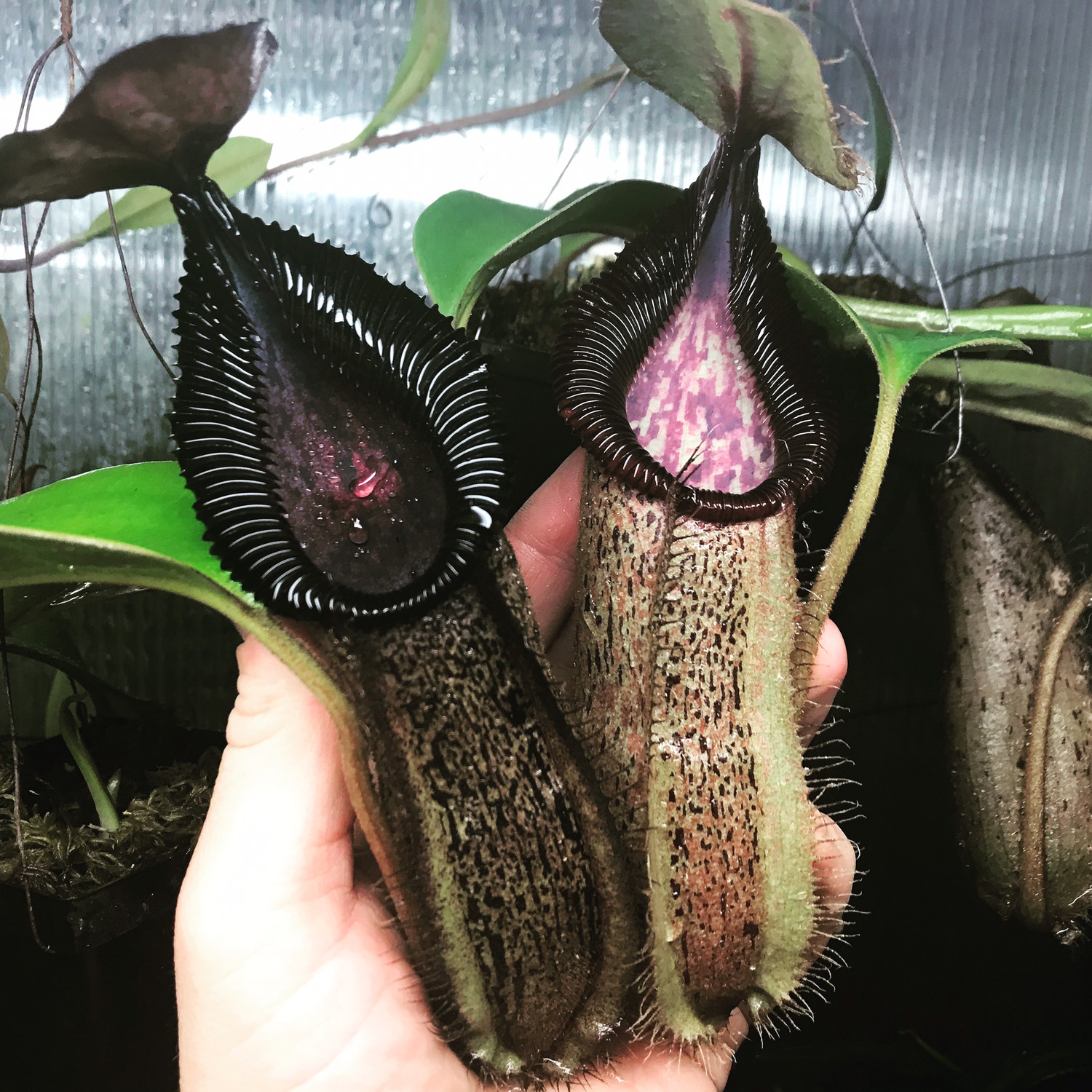 Nepenthes hamata x robcantleyi Huge Plants!