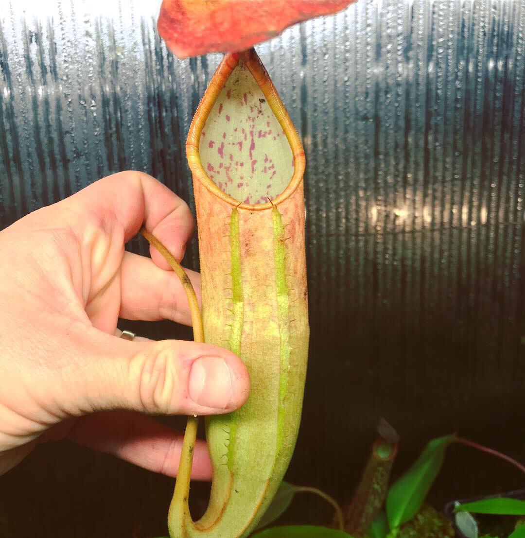 "Nepenthes sanguinea ""Orange""  Big plants!"