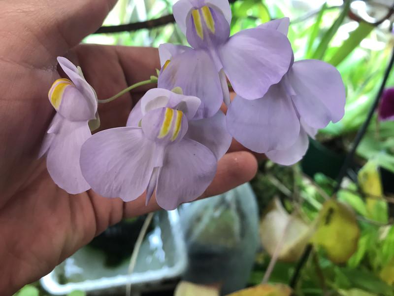 Utricularia reniformis x nelumbifolia