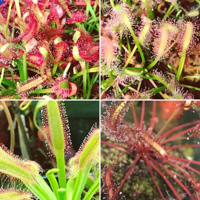 Drosera capensis Lovers Starter Kit (3 Sundew/4 Sundew Options)