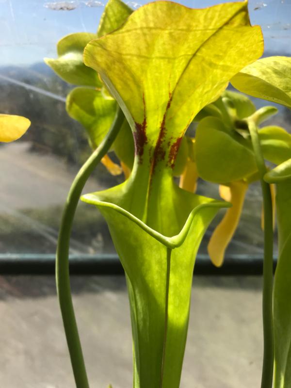 Sarracenia flava var. rugelii Milton Fl. Seedlings Buy 1 Get 3 Free