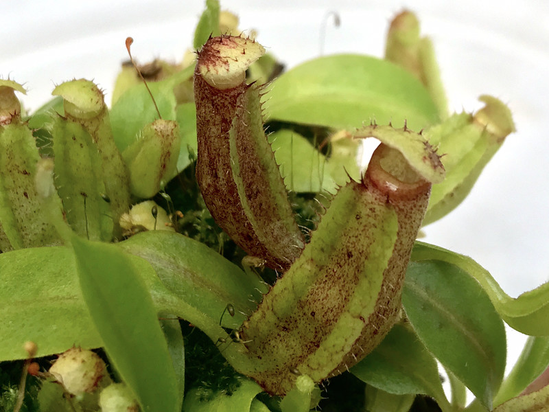 Nepenthes boschiana X vogelii