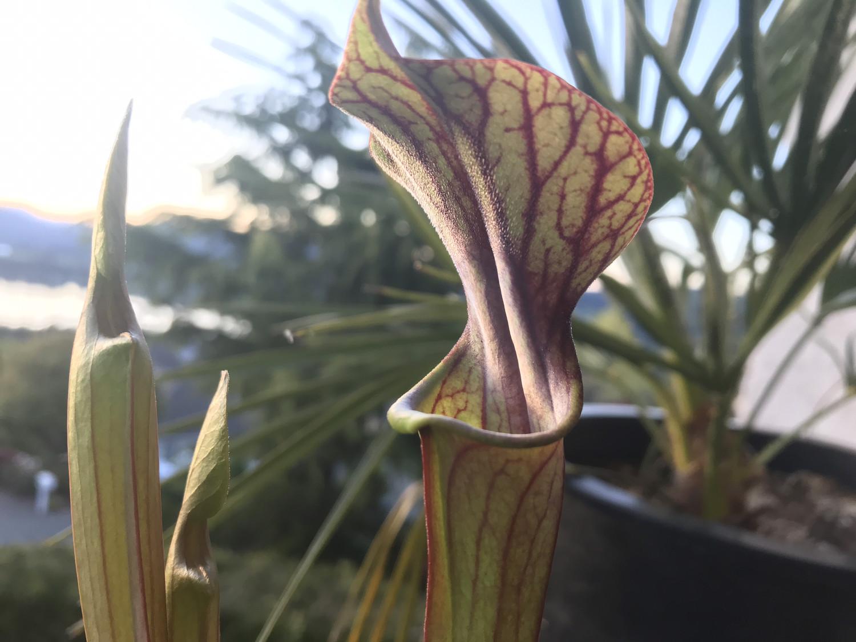 "Sarracenia ""Black Pitcher""(alata Nigra purpurea x  purpurea Venosa) x F. atropurpurrea"