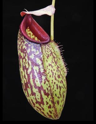 Nepenthes aristolochioides x burkei BE-3683
