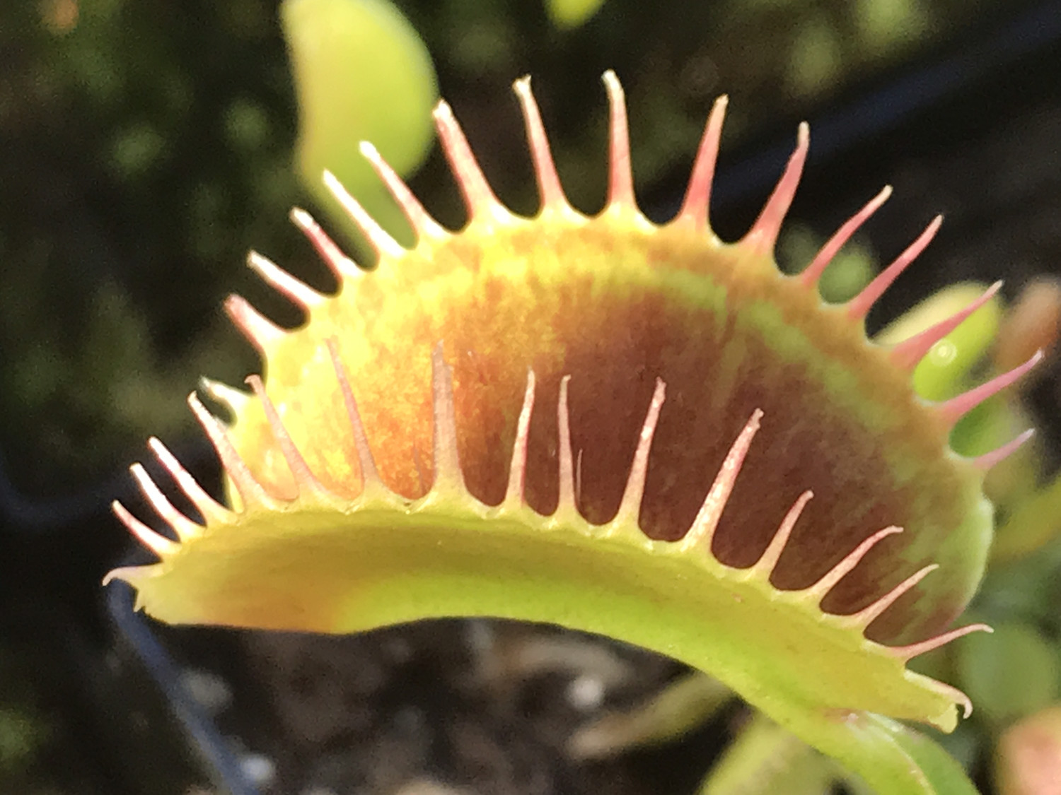 Dionaea muscipula  South West Giant Venus Flytrap (small)