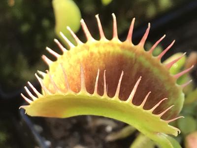 Dionaea muscipula  South West Giant Venus Flytrap (small)