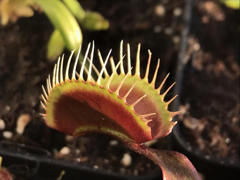 Dionaea muscipula  Green Dragon Venus Flytrap (small)