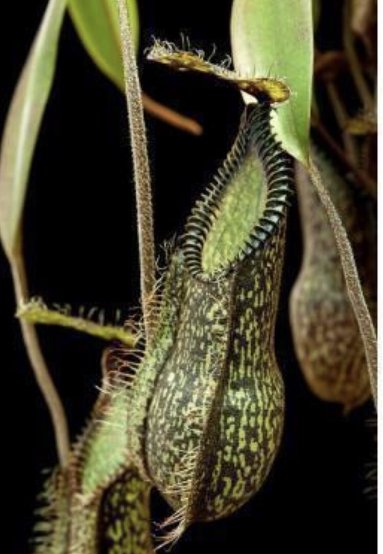 Nepenthes hamata ' Gng. Tambusisi' BE-3975 Less than 100 Released World Wide