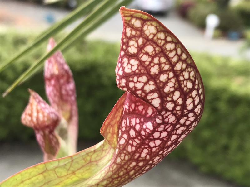 Sarracenia X  wrigleyana