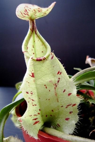 Nepenthes rafflesiana Sandakan (Large)