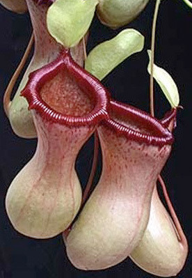"Nepenthes ventricosa ""Black Peristome"" (Large)"