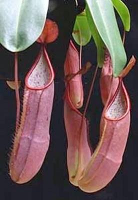 Nepenthes sanguinea Genting Highlands -Medium