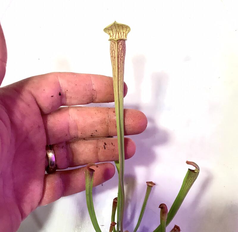 Sarracenia  alata Areolate Form X Blacktube, Pubescens