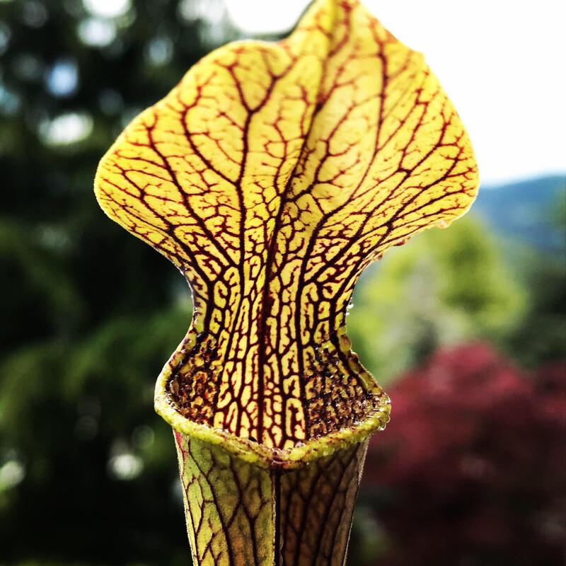 Sarracenia rubra ssp jonesii Limited!