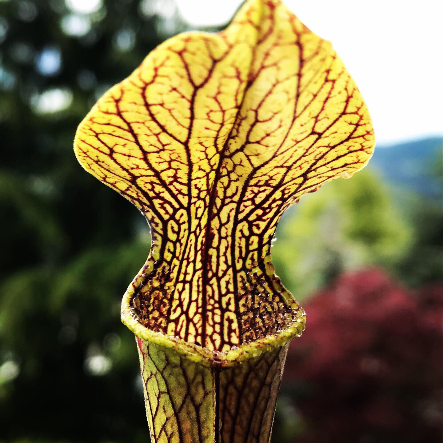 Sarracenia rubra ssp jonesii Limited!