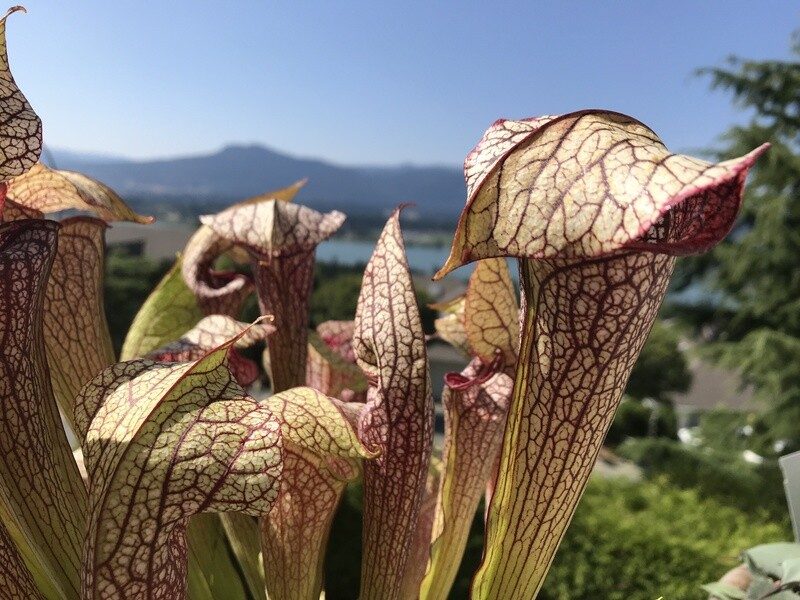 "Sarracenia Wrigleyana ""Giant Form""  X Oreophila sand mountain #4. Large Divisions"